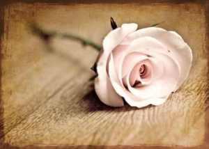 jula'-jula--flower--roses_large